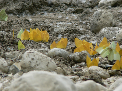 P104PudPartyYA-S549 Oct. 6, 2008  1:48 p.m.  P1040549 Yellow Angled-Sulphur and puddle party on river bank at Sta Maria de Guad. K20