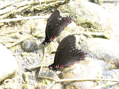 P104MimPhaonVariableST345  Oct. 4, 2008  12:29 p.m.  P1040345 Mimoides phaon, Variable Swallowtail near Sabinas R