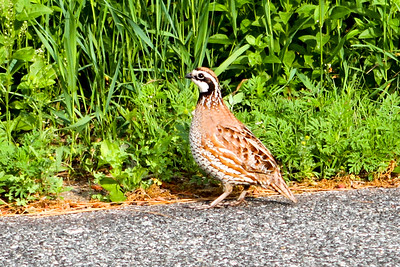 Northern Bobwhite just outside entrance to Trempealeau NWR June 6, 2014