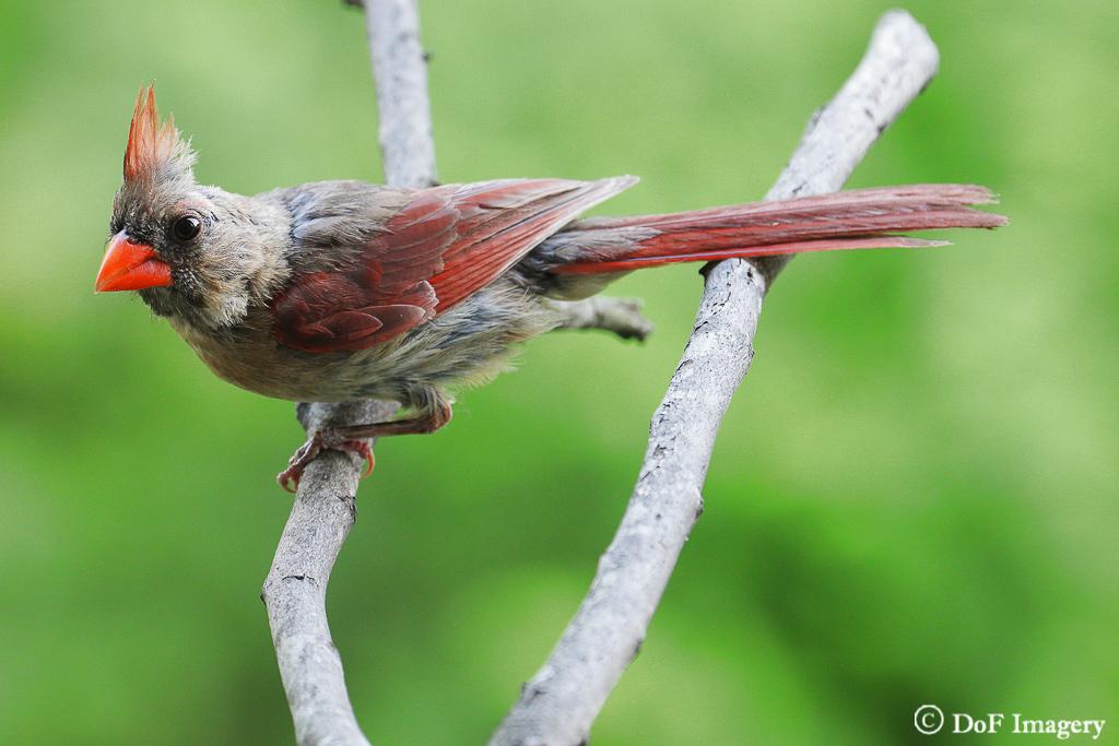 IMAGE: https://photos.smugmug.com/Nature/Northern-Cardinal/i-4GSGkTV/0/ffb46baf/XL/IMG_0639-XL.jpg