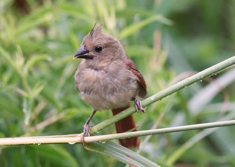 Juvenile Female Cardinal (mid July)