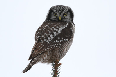Northern Hawk Owl Just south of EauClaire on a gray, overcast day January 16, 2015 rare sighting this far south in Wisconsin