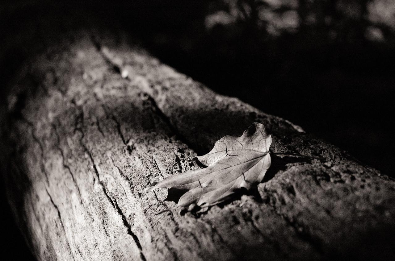 Maple Leaf on Log