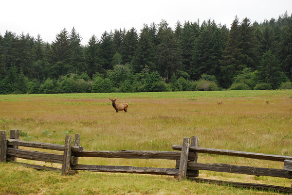 Yes, there really are elk in the Elk Meadow - Prarie Creek