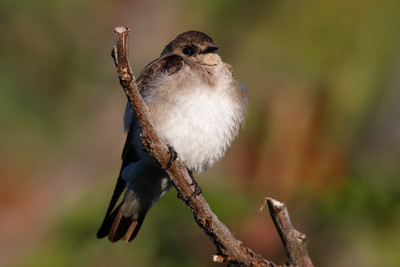 Northern Rough-winged Swallow May 21, 2015 Backyard in Trempealeau County