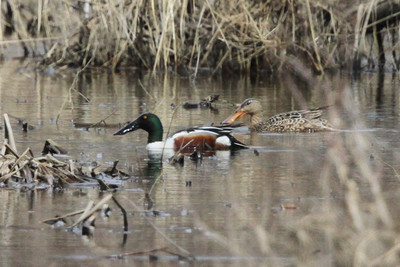 Northern Shoveler pair Trempealeau NWR 4/10/14