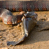 Northern Watersnake eats Bullhead