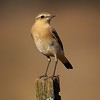 Northern Wheatear. First ever report in Tennessee