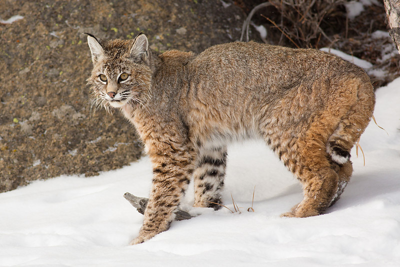 Pause..... Lowland Red Bobcat, Yellowstone NP
