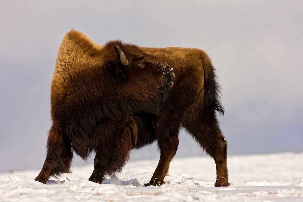 Bison, Blacktail Plateau