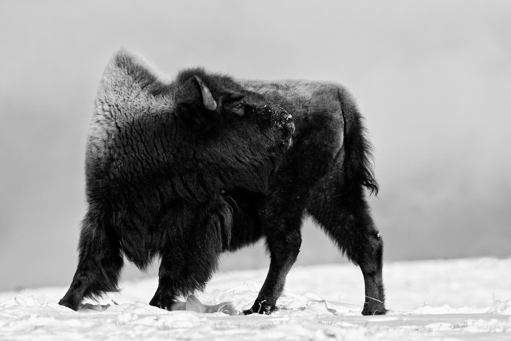 Bison, Blacktail Plateau, BW