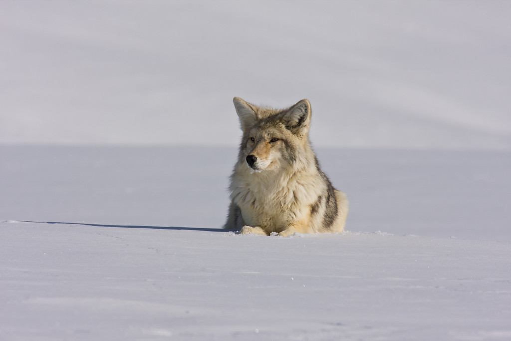 Resting Coyote, Hayden Valley