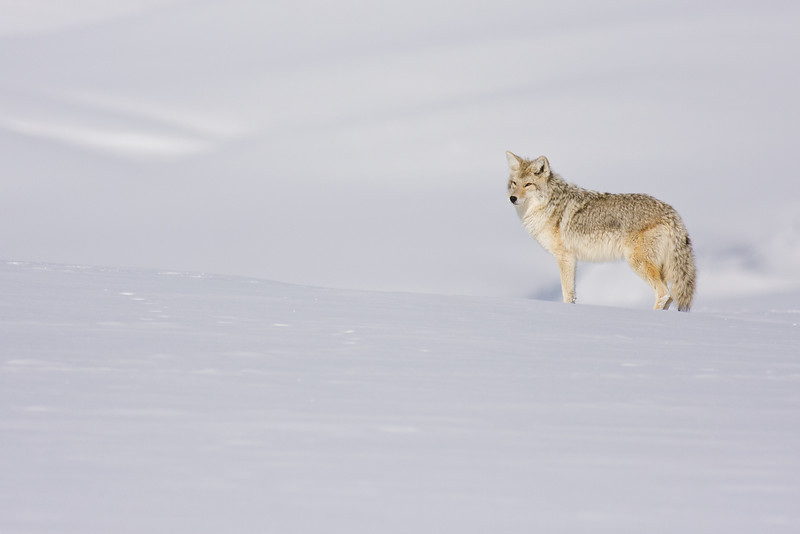 Coyote in Snow (#2), Hayden Valley
