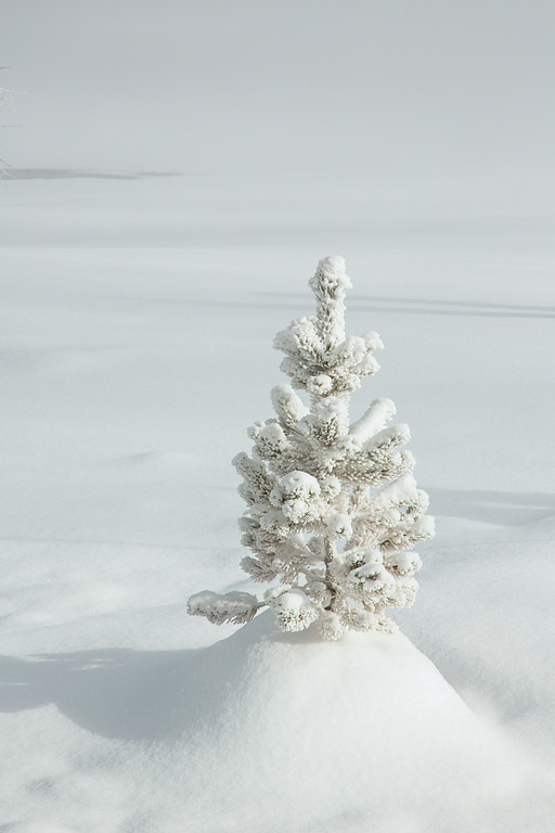 Young Pine in Snow, West Thumb Geyser Basin, Yellowstone NP