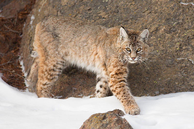 On the Move... lowland red bobcat, Yellowstone NP
