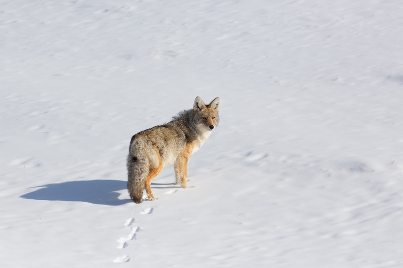 Coyote in Snow.  Tower Junction.  Yellowstone NP