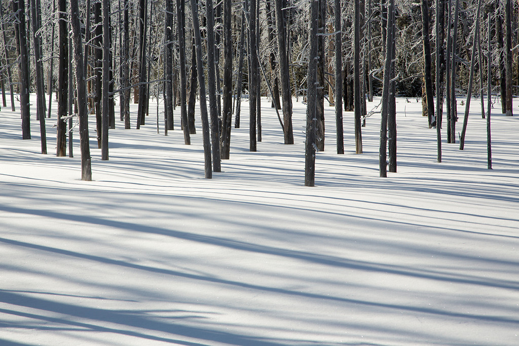Trees and Shadow in Snow