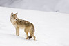 Coyote in Winter 2, Yellowstone NP