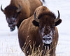 Here's Looking at You!  American Bison