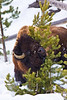 Tree Hugger - Bison scratching itself on a pine tree