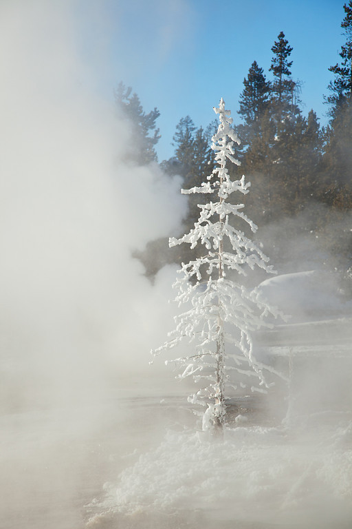Frosted Tree, Norris Geyser Basin, Back Basin