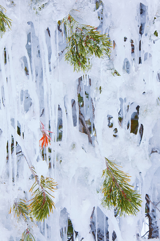 Frozen Pine, Old Faithful Upper Geyser Basin