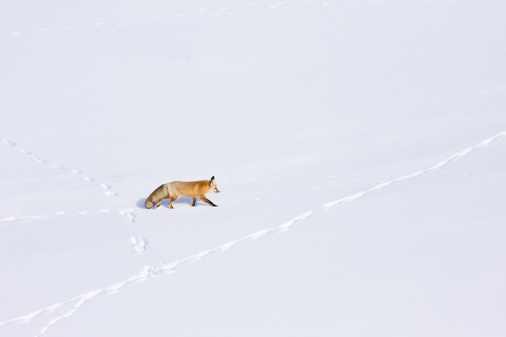 Red Fox and Animal Tracks