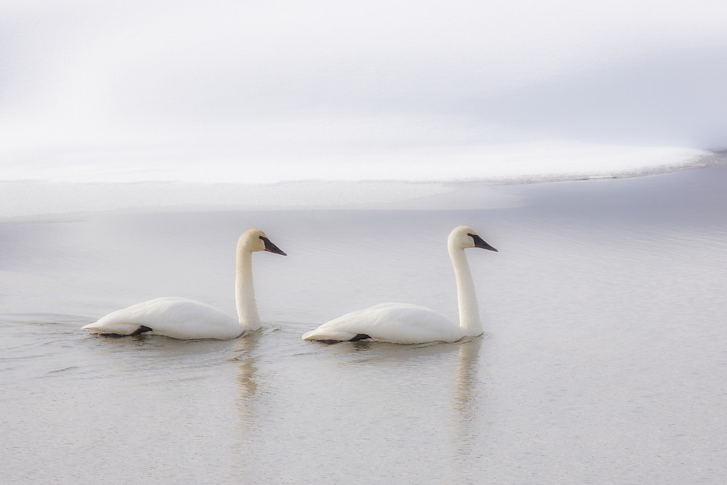 Pair of Trumpeters, Madison River, Yellowstone