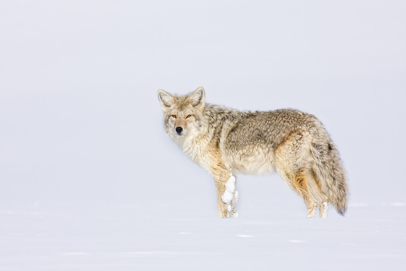 Coyote in Snow, Hayden Valley