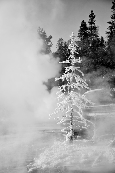 Frosted Tree B&W, Norris Geyser Basin, Back Basin