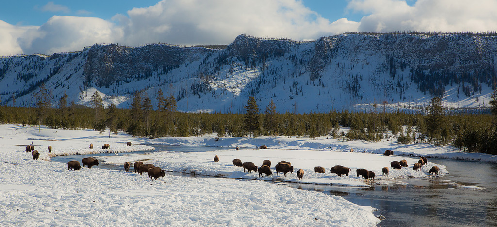 Bison Herd at the Firehole River