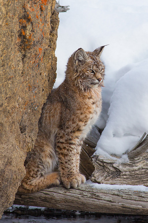 Patiently Waiting....Bobcat, Yellowstone NP