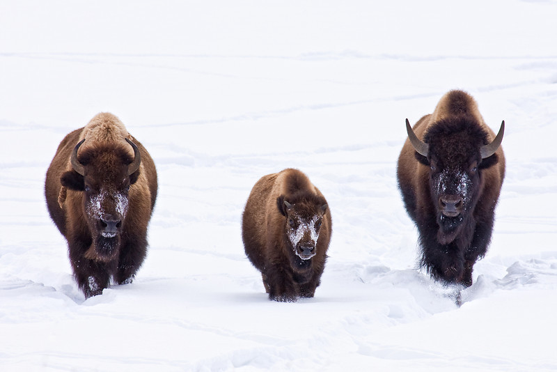 Here They Come!  Three bison walk side-by-side through a snowy meadow in Lamar Valley, Yellowstone