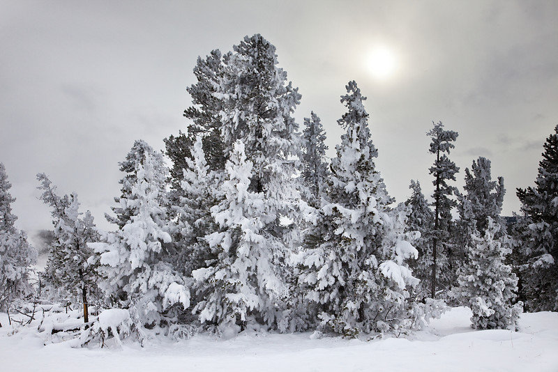 Snow Covered Trees and Overcast Sky, Yellowstone National Park