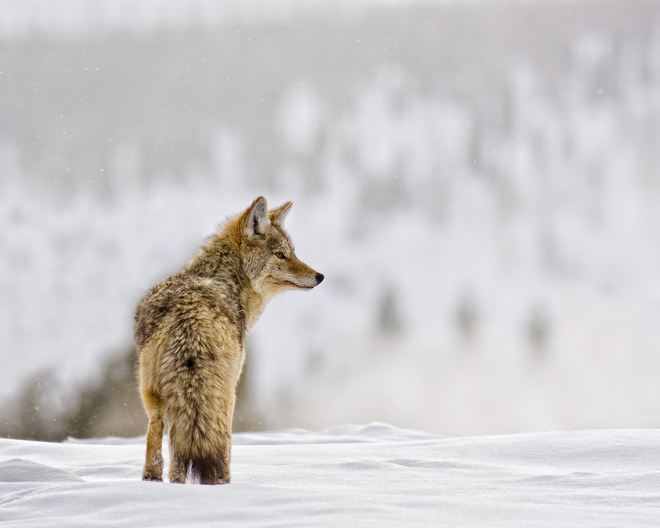 Coyote in Winter, Yellowstone NP