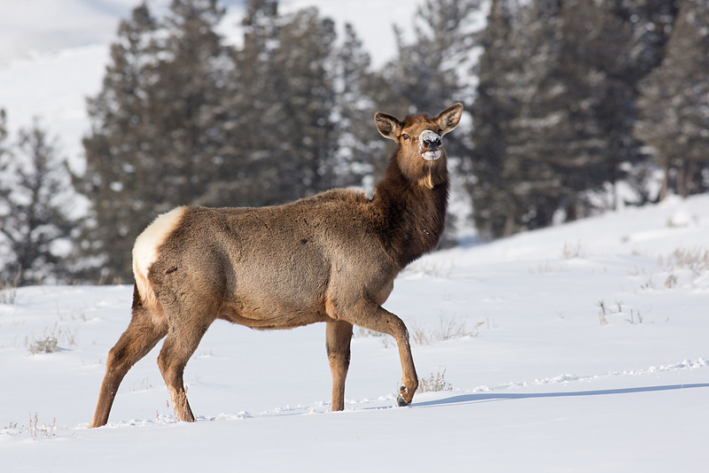 Wary Cow Elk.  Tower Junction, Yellowstone NP