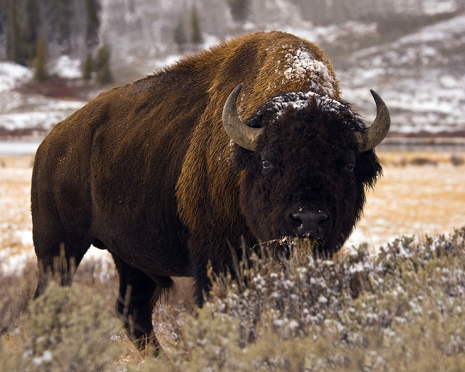 American Bison, Yellowstone Nat'l Park