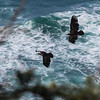 Eagles off the Oregon Coast
