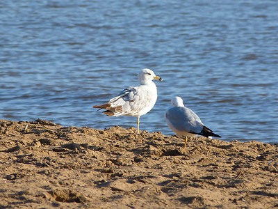 Ring-billed Gull second-cycle