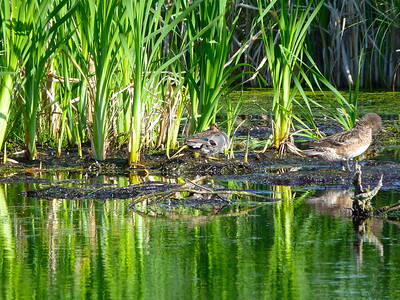 Green-winged Teal centre, sleeping