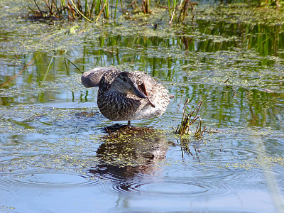 Blue-winged Teal female
