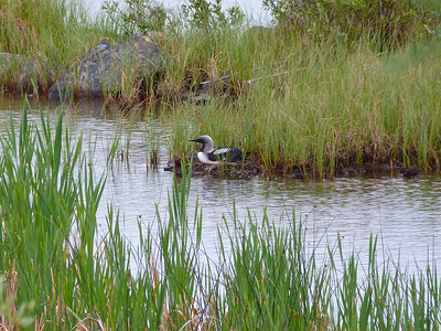 Pacific Loon on nest