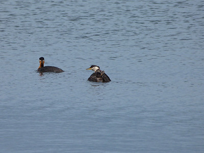 Red-necked Grebe family