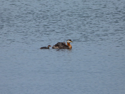 Red-necked Grebe with two young