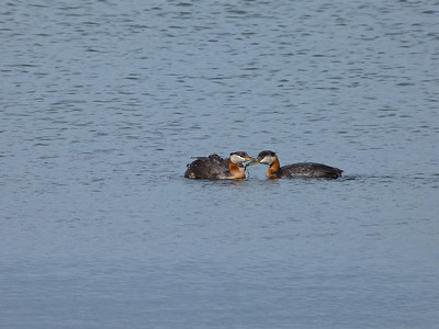 Red-necked Grebes, young being fed by adult on right