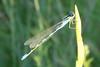 Tule Bluet (Enallagma carunculatum) male. OR: Baker Co., 19 July 2008.