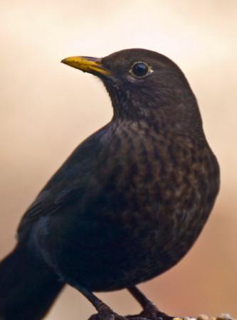 Northwich-ish Birds