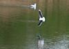 Little Gull - Olympus E3, Zuiko 300mm, 1/640 sec at f5.6, ISO 200