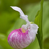 Showy Ladyslipper Orchid