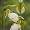 Pink Ladyslipper Orchid - White Form